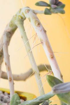 Do you have roots growing from the stem of your succulent? These are aerial roots! They aren't a problem, but this post will tell you all about why they grow and whether or not aerial roots on succulents can be removed.