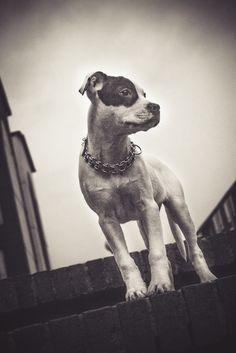 Ágatha, american pitbull terrier