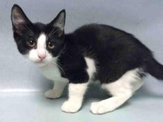 HONEY A1086129. ROOKLYN CENTER HONEY – A1086129 MALE, BLACK / WHITE, DOMESTIC SH,4 mos OWNER SUR – EVALUATE, NO HOLD Reason TOO MANY P Intake condition EXAM REQ Intake Date 08/19/2016, From NY 11221, DueOut Date08/21/2016, I came in with Group/Litter #K16-070688. Medical Behavior Evaluation GREEN Medical Summary MICROCHIP SCAN NEGATIVE. EXAM: BARH. EENT: NO OCULONASAL DISCHARGE. CV: NO MURMURS. UG: INTACT MALE. A: APPARENTLY HEALTHY. P: PYRANTEL 0.4 ML PO. FVRCP AND RABIES VACCINES GIVEN.