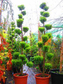 Niwaki pruned Chamacyparis Pom Pom Tree