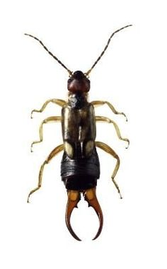 Natural Methods for Getting Rid of Earwigs-stupid bugs:(