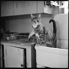 Walker Evans (American, 1903-1975). From the series 12 Portraits of a Cat, 1940s-50s. (photograph)