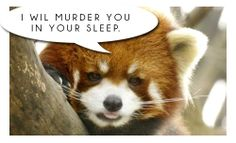 Red Panda's Are Jerks: They will murder you in your sleep if you let them