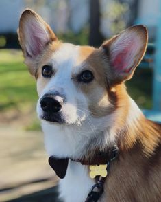 Gazing longingly towards the weekend ❤️ Credit to : @vancouvercorgi DoubleTap & Tag a Friend Below⤵ Follow us if you love Corgi ❣ Update videos everyday ❤