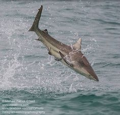 Blacktip sharks go crazy in the surf attacking hook-less topwater lures. Photo courtesy of Michael Patrick O'Neil Black Tip Shark, Types Of Sharks, Shark Photos, Topwater Lures, Apex Predator, Fish Tales, Shark Week, Baby Shark, Kayak Fishing