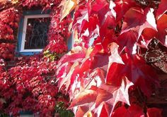 Efeuwein, Parthenocissus tricuspidata Painting, Green Facade, House Siding, Concrete Wall, Climbing Vines, House Exteriors, Flowers, Lawn And Garden, Ideas