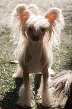 Chinese Crested    Origin: Unknown  Colors: Any  Size: Small  Type of Owner: Novice  Exercise: Moderate  Grooming: Very little (Hairless) to regular (Powderpuff)  Trainability: Slightly difficult to train  Combativeness: Friendly with other dogs  Dominance: Low  Noise: Average barker