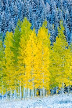 Landscape Pictures, Landscape Art, Landscape Photography, Nature Photography, Autumn Scenery, Autumn Trees, Aspen Trees, Watercolor Trees, Fall Pictures