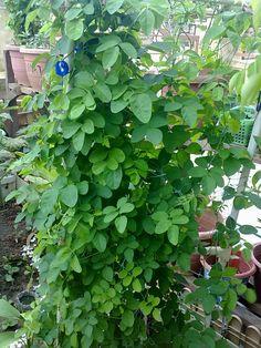 khasiat pokok kacang telang 2