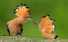 Mother Bird Feeding Little bird Wallpapers-Wildlife Kiss Pictures, Cool Pictures, Animal Pictures, Hoopoe Bird, Bird Wallpaper, Kinds Of Birds, Mundo Animal, Colorful Birds, Exotic Birds