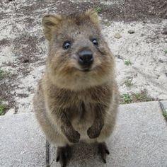 ◆ Quokka(クアッカワラビー) オーストラリアに分布する、カンガルー科クアッカワラビー属。口角がキュッとあがっており、まるで笑っているような顔をしているため「世界一幸せな動物」というニックネームがついているんです。 Instagram(インスタグラム)上で#quokkaselfieと検索すると