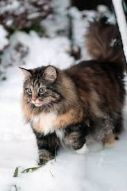 beautiful norwegian forest cat