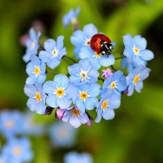 Ladybugs and Forget-me-nots