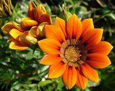 Flores laranjas e botões a se abrir