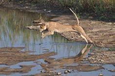 Lioness taken just underneath the high-water bridge between Skukuza and lower Sabie