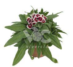Dianthus barbatus M-14. Vivercid.
