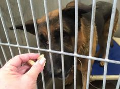 SAFE!!~~~UPDATED!! 12/22 SWEET TYSON WAS RESCUED TODAY FROM THIS HIGH KILL SHELTER AND WILL GET ANOTHER CHANCE AT A GOOD LOVING LIFE!!~~~SUPER URGENT!! HE IS IN A SHELTER AND NOT SAFE!! PLEASE SHARE TO SWEET BOY TO SAVE HIM!!~Defeated and broken, German shepherd has lost his will to live at busy shelter