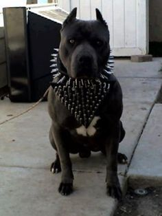Ethical Treatment Pit Bulls's photo: How disgraceful to exploit an innocent being like this. No wonder people are afraid of pit bulls! Disfigure the dog by chopping up the ears then put on scary looking items. Go to hell if this is how you treat animals.