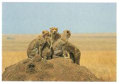 Postcard from Germany ~ Leopards www.postcrossing.com