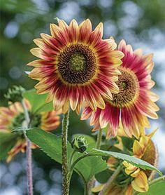 Sunflower, Candy Mountain Hybrid,