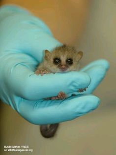mouse lemur for sale