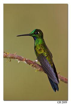 Hummingbirds - Nature Animals Birds Hummingbird GREEN-CROWNED BRILLIANT