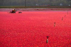Cranberry harvest, Richmond, BC - Canada, reminds me of Nantucket, Massachusetts. Cranberry Farm, O Canada, Landscaping Company, Quebec City, Pacific Coast, British Columbia, New England, The Good Place, The Neighbourhood