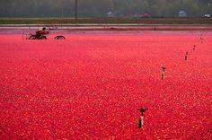 Cranberry Harvest, Richmond, BC, Canada #GILoveBC