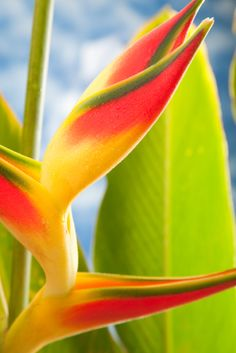 """Heliconia (a/k/a Lobster Claw, Wild Plantain, or False Bird-of-Paradise).   (""""Heliconia."""")  Compilation from Chrome research:  Heliconiasare tropical plants related to bananas, cannas and gingers.  (""""Heliconia, derived from the Greek word helikonios, is a genus of flowering plants in the Heliconiaceae.Wikipedia."""") The unusual, beautiful flower blossoms, with multi-color bracts, are similar to and often mistaken for Bird of Paradise."""