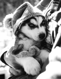 A husky puppy being carried in its owner's arms.