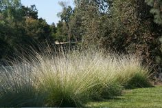 muhlenbergia rigens or Deer Grass