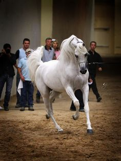 Escape Ibn Navarrone-D owned by Ajman Stud.