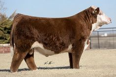 Miniature Breeds Of Cattle That Are Perfect For Small Farms Miniature Cattle, Miniature Hereford, Show Cows, Hereford Cattle, Fluffy Cows, Gyr, Show Cattle, Showing Livestock, Beef Cattle
