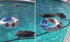 This is the adorable moment two raccoons go for their daily swim in Orange Park, Florida. The raccoons, Waylon and Willie, are two-and-a-half-year-old brothers. Coatimundi, Raccoon Family, Orange Park, Raccoons, Mail Online, Daily Mail, Rest, Florida, Swimming
