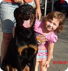 Williamsport, MD - Rottweiler. Meet Duke (95 lB) GREAT Family Pet, a dog for adoption. http://www.adoptapet.com/pet/17871381-williamsport-maryland-rottweiler