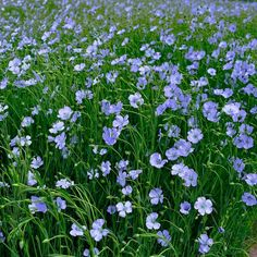 Buy flower seeds online: Australian seed shop - The Seed Collection Hardy Perennials, Flowers Perennials, Flower Seeds Online, Front Yard Plants, Flax Flowers, Australian Native Garden, Seed Shop, Prairie Garden, Flax Plant