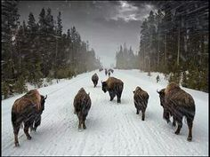 Be strong as the Buffalo, Wise as the Wolf & Free as the Wind - dmh Musk Ox, American Bison, American Life, American History, Native American Quotes, Stay Wild, Brown Bear, Big Cats, Spirit Animal
