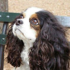 A Beautiful Tri-Color,  Cavalier King Charles Spaniel