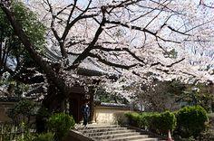 のんくり日和: 雑司ヶ谷も桜が満開でした