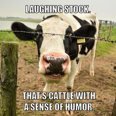 Maybe laughing stock isn't such an insult? :)  #funny #cows #farms
