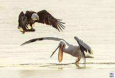 Белый Пеликан проиграл борьбу еду с гибкой Белоголовый Орлан