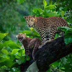 ⠀ —————————————————— ♔ ♔ M a r v e l o u z f e a t u r e ♔ ♔ —————————————————— ⠀ ⠀ Featured artist Panther Leopard, Panther Cat, Black Panther, Jaguar Tier, Jaguar Animal, Jungle Cat, Pet Puppy, Animals And Pets, Wild Animals