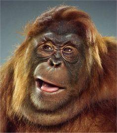 awww, fluffy, funny, funny faces, furry, haha, jill greenberg, lol, mon eky, orangutan, portraits, silly