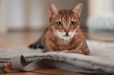 Yoga Stuff for petloving Yoginis Yoga, Cats, Animals, Bengal Tiger Cat, Gatos, Animales, Kitty Cats, Animaux, Yoga Tips