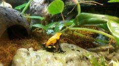 Orange splash back D. Galactonotus
