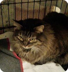 Maine coon cat adoption pa