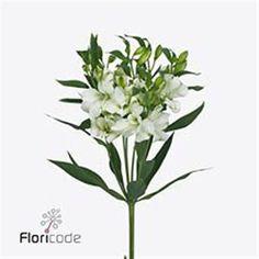 Alstroemeria Charmelia White
