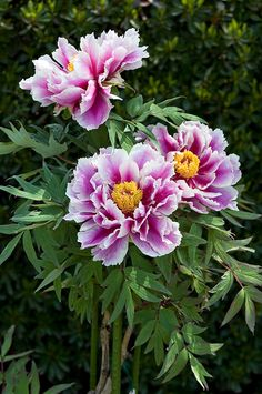 Paeonia suffruticosa Andrews 'Warai jishi' ボ タ ン '笑 獅子' Peony Flower Photos, Flower Petals, Flower Art, Shabby Flowers, Vintage Flowers, Amazing Flowers, Beautiful Flowers, Tree Peony, Peony Painting