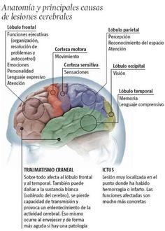 la corteza cerebral y sus funciones - Buscar con Google