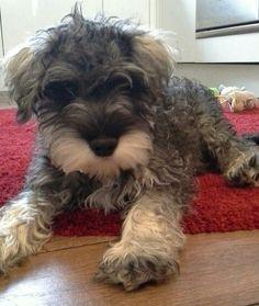 Miniature Schnauzer Puppy #miniatureschnauzerpuppy